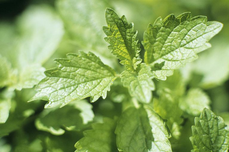 lemon balm for anxiety reviews